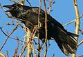 Corvus corax in Akureyri 6.jpeg