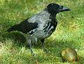 Corvus cornix norway.JPG