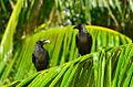 Corvus splendens Maldives.jpg