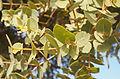 Corymbia setosa foliage.jpg