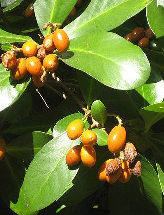 Karaka (tree) - The orange fruit, produced in summer, contain highly poisonous kernels.