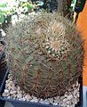 Coryphantha recurvata 1e.jpg
