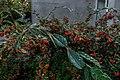 Cotoneaster lacteus na Gulbenkian (31395661261).jpg