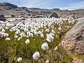 Cotton grass Kulusuk, Greenland - panoramio.jpg