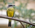 Couch's or Tropical Kingbird (38257923024).jpg