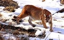 Cougar - panoramio (2).jpg