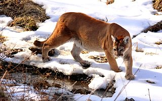 North American cougar the largest living species of wild cat in Canada