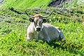 Cow at Col de Lens (2).jpg
