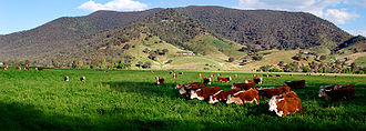 Field (agriculture) - Image: Cows in green field nullamunjie olive grove