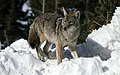 Coyote043 (26841416462).jpg