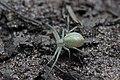 Crab Spider (35492977350).jpg