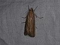 Crambidae sp. (39054219645).jpg