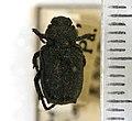 Cremastocheilus castaneae (Knoch, 1801) - 5393140472.jpg