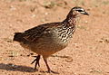 Crested Francolin, Dendroperdix sephaena at Borakalalo National Park, South Africa (9937682325).jpg