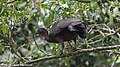 Crested Guan, Costa Rica, January 2018 (27083962798).jpg
