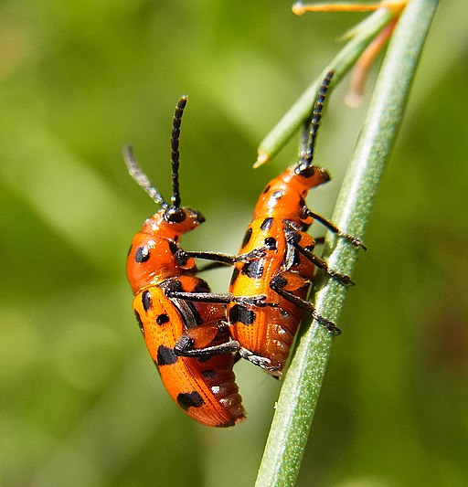 Spargelkäfer Schädling 14 gepunkteter Spargelkäfer