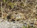 Crnovec - tortoise - P1100461.JPG
