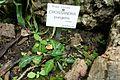 Crossandra pungens-Jardin botanique Jean-Marie Pelt (1).jpg
