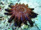 Crown of Thorns Starfish at Malapascuas Island v. II.jpg