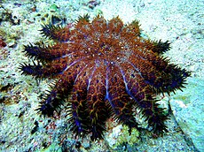 Crown of Thorns Starfish at Malapascuas Island v. II.jpg