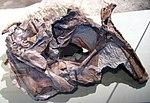 Cryolophosaurus ellioti theropod dinosaur (Hanson Formation, Lower Jurassic; Mt. Kirkpatrick, Queen Alexandra Range, Transantarctic Mountains, Antarctica) 6 (15375860312).jpg