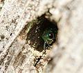 Cuckoo wasp sp. - Flickr - S. Rae.jpg