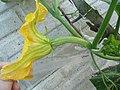 Cucurbita moschata (zapallo espontáneo) flor F01 antesis vista lateral regla.JPG