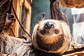 Curious Sloth Upside Down (18878208681).jpg