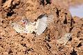 Cut-throat finch, Amadina fasciata at Mapungubwe National Park, Limpopo, South Africa (album includes copulating pair) (17244273094).jpg