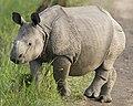 Cute rhino cub - Flickr - Lip Kee.jpg