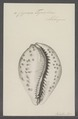 Cypraea tigris - - Print - Iconographia Zoologica - Special Collections University of Amsterdam - UBAINV0274 088 02 0036.tif