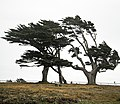 Cypresses at Point Arena (2530259037).jpg