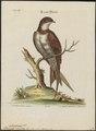 Cypselus melba - 1700-1880 - Print - Iconographia Zoologica - Special Collections University of Amsterdam - UBA01 IZ16700085.tif