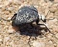 Cysteodemus armatus - Inflated Beetle Mojave desert 2016-04-05 (3).jpg