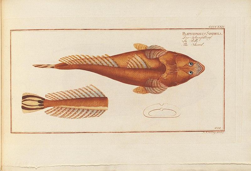 File:D. Marcus Elieser Bloch's, ausübenden Arztes zu Berlin ... Oeconomische Naturgeschichte der Fische Deutschlands (20929594825).jpg
