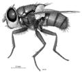 DIPT Calliphoridae Chrysomya rufifacies f.png