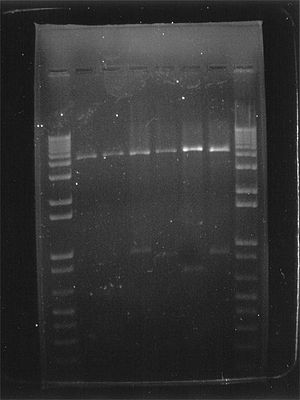 Gel electrophoresis of nucleic acids - Digital printout of an agarose gel electrophoresis of cat-insert plasmid DNA