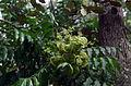 DO-sapindaceae-01.jpg