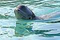 DSC09175 - Beluga Whale (37049818492).jpg