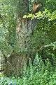 DSC 1761 Uralte Bruchweide.jpg
