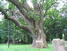 Bartek (tree)
