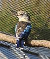 Dacelo leachii Zoo Praha 2011-4.jpg