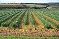 Daffodil Field - geograph.org.uk - 124042.jpg