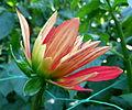 Dahlia concours international 2012 Parc Floral 2.JPG