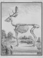 Daim, squelette - Fallow Deer Buck, skeleton - Cervus dama - Gallica - ark 12148-btv1b2300253d-f33.png