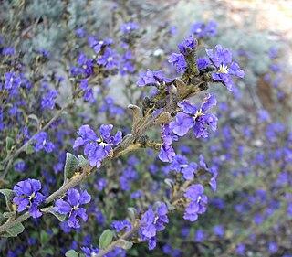 <i>Dampiera purpurea</i> species of plant