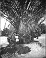 Date palm (Australia Palm) heavy with huge clusters of fruit near Indio in Riverside County, ca.1920 (CHS-2487).jpg