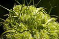 Daucus carota - Flickr - aspidoscelis.jpg