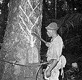 De Balata-bleeder tapt balata uit de balataboom (bolletrie) in Nickerie, Bestanddeelnr 252-5432.jpg