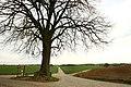 De Schonenboom ,opgaande linde - 375695 - onroerenderfgoed.jpg